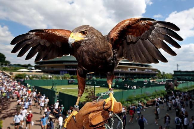 Bird S Eye View Of Wimbledon For Rufus As Harris Hawk Returns To Pigeon Patrol Kidderminster Shuttle