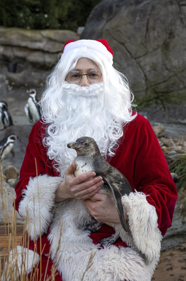 Santa has been meeting some of West Midland Safari Park's residents ahead of their Santa Safari event, including penguin chick Hickory