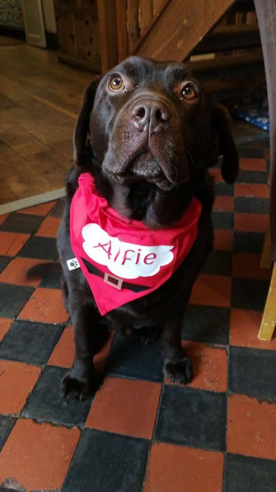 Alfie the chocolate Labrador has made himself at home among The Black Star's pub regulars