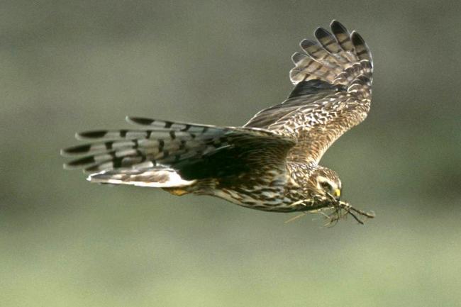 Shooting Groups Pledge Zero Tolerance On Illegal Killing Of Birds Of Prey Kidderminster Shuttle