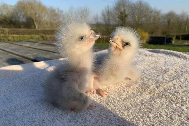 Eagle Chicks Named Rishi And Boris At Birds Of Prey Centre Kidderminster Shuttle