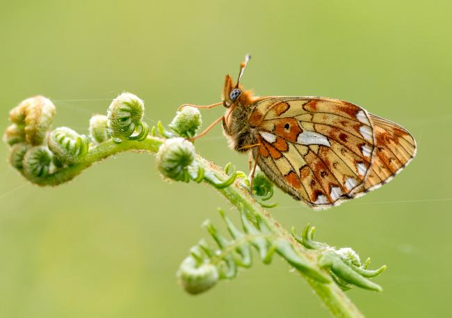 The front cover of Worcestershire Wildlife Trust's 2021 calendar - a pearl-bordered fritillary butterfly in the Wyre Forest. Photo by Richard Clifford
