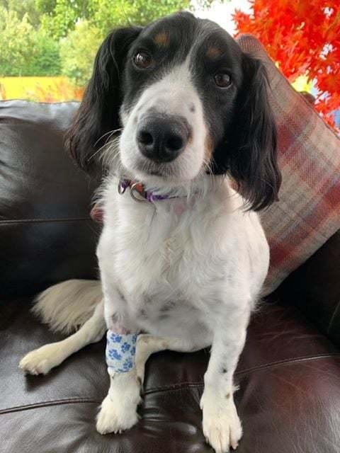 Spaniel cross Toby needed critical veterinary care after he ate some cannabis left in Areley Kings Village Hall park
