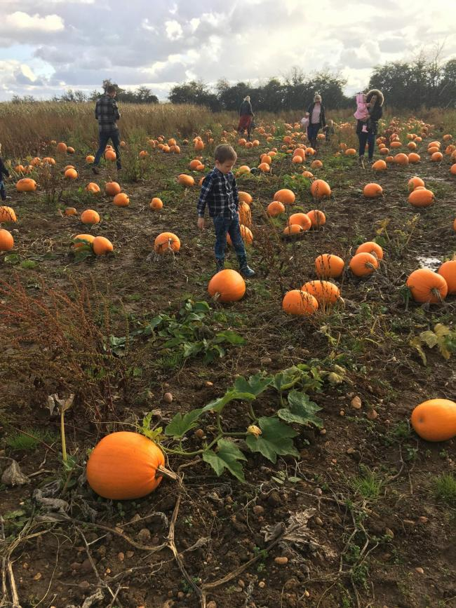 Pumpkin picking at Clive's of Cropthorne