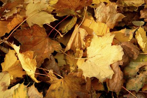 Organic uses for autumn leaves