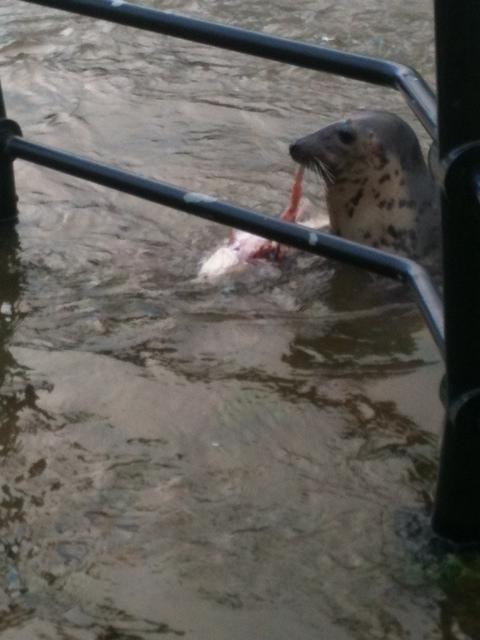 Keith the seal grabs a bite to eat in Bewdley. Pictures: KATIE MARSHALL