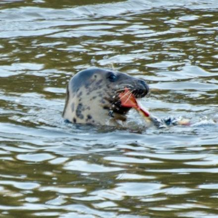 Saved: Keith the seal. Picture: GARY MAYNER