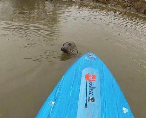 Kidderminster Shuttle: Spotted again: Keith the seal. Picture: TRISTAN BAWN.