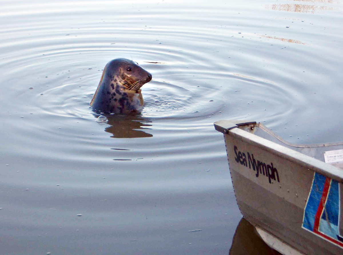 Angling Trust vows to continue pursuit of Keith the seal