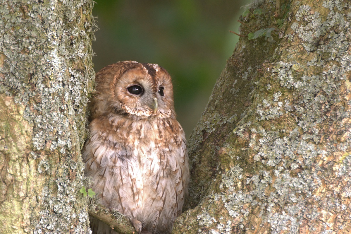 PICTURE PERFECT: Last year's winning photograph of a tawny owl, taken by Jason Curtis.
