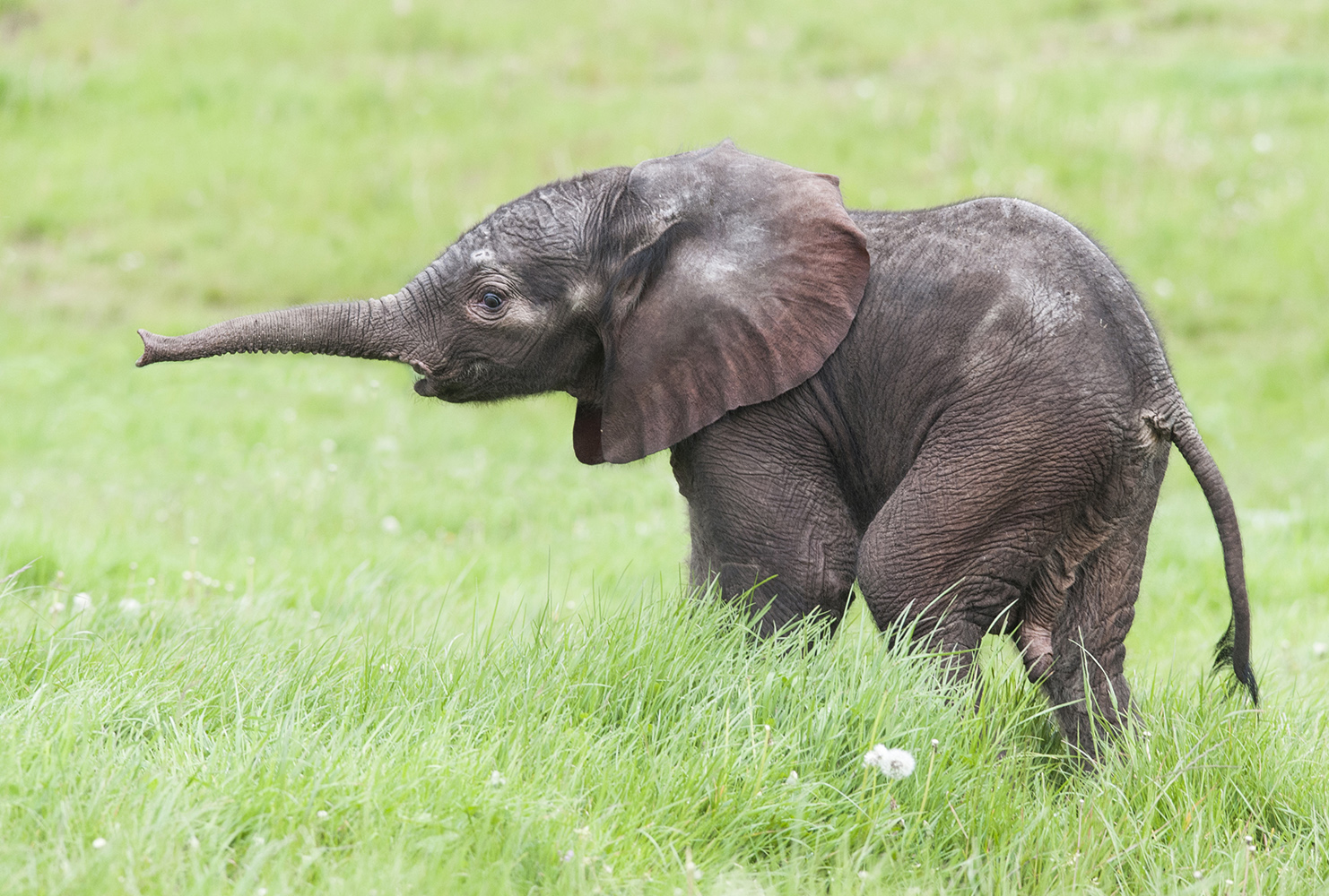 ELE-PHANTASTIC: The new baby elephant born on Monday, May 5.
