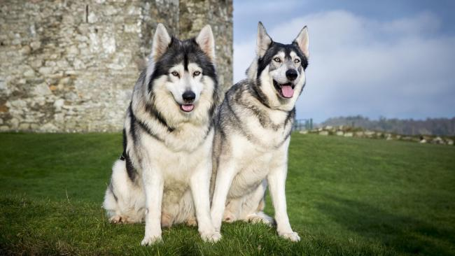Odin and Thor played direwolves in hit HBO fantasy drama Game Of Thrones (Liam McBurney/PA)