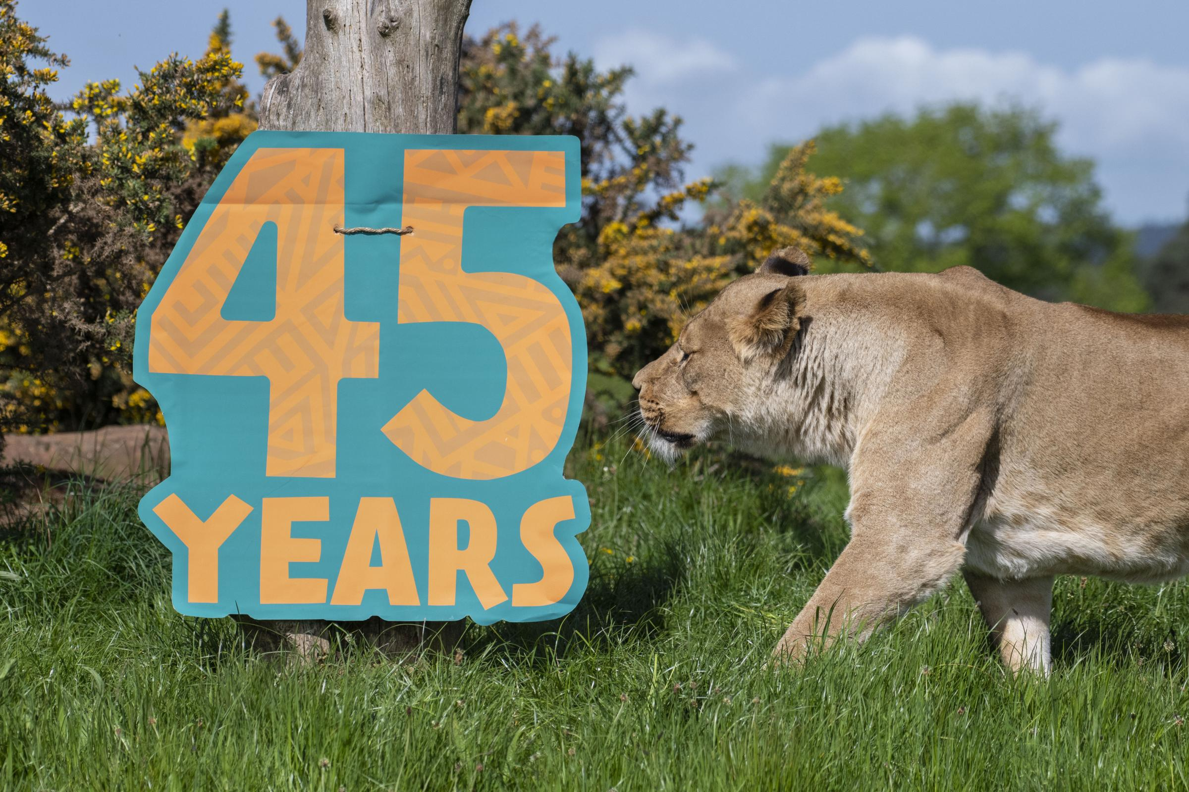 West Midland Safari Park are celebrating their 45th anniversary.